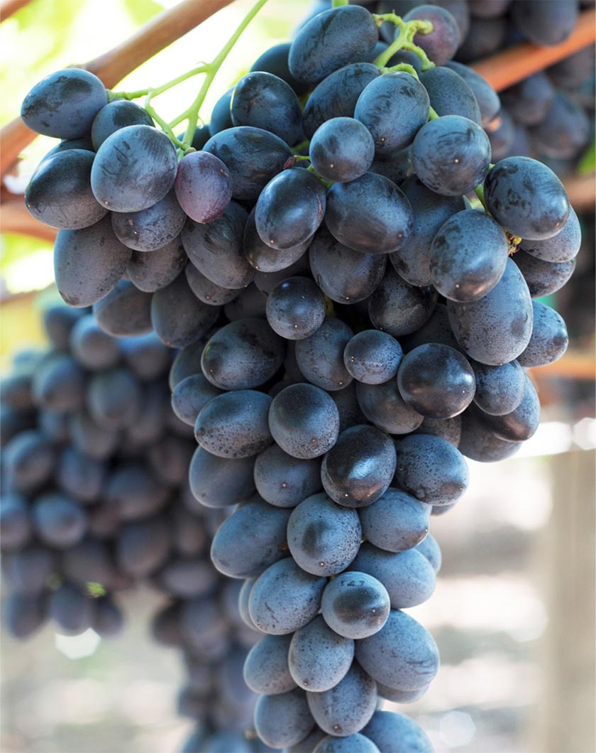 Gracenote grapes photo