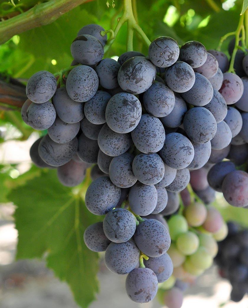 Julep grapes photo
