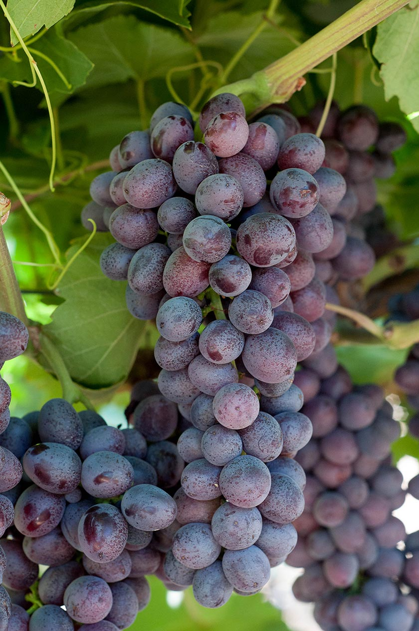 Kokomo grapes photo